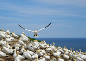 Bonaventure Island Bird Sanctuary