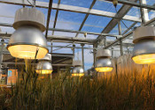 Study Grows Wheat Twice as Fast Under LEDs